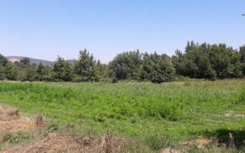Πέντε φυτείες κάνναβης εντοπίστηκαν στο Ρέθυμνο