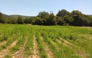 Φυτεία κάνναβης με 207 δενδρύλλια εντοπίστηκε στον Μυλοπόταμο