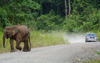 Χωρικοί στη Μαλαισία σκότωσαν ελέφαντα απειλούμενου είδους για εκδίκηση