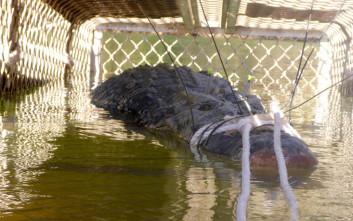 Ο πελώριος κροκόδειλος 600 κιλών που έψαχναν για 8 χρόνια