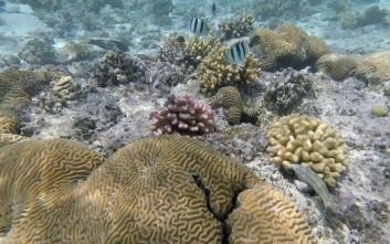 Οι αρουραίοι επιδρούν καταστροφικά στη ζωή των κοραλλιογενών ατολών στον ωκεανό