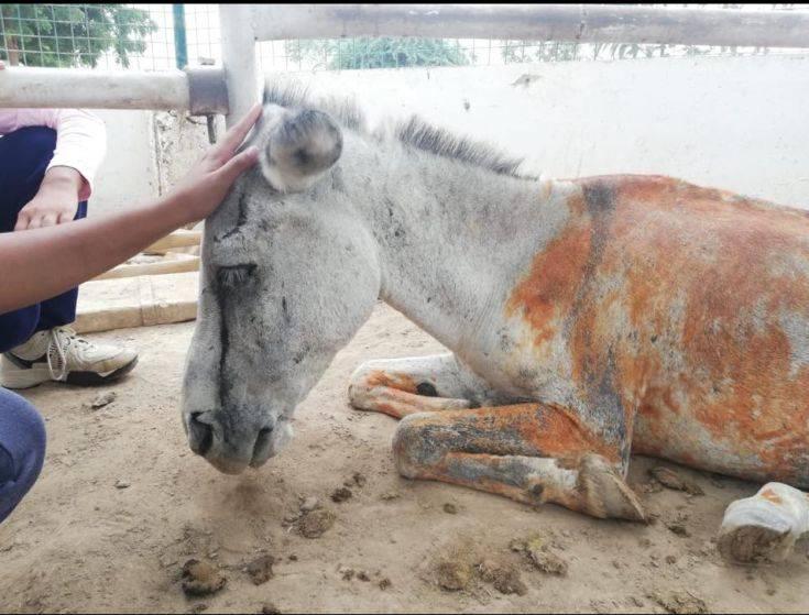 Γαϊδουράκι χρησιμοποιήθηκε σε πολιτικό σκετς και βασανίστηκε άγρια