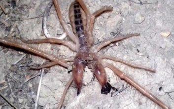 Αράχνη - σκορπιός σπέρνει τον πανικό σε Θεσσαλία και Πελοπόννησο