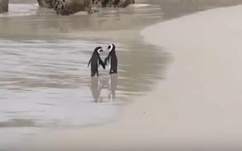 Η ρομαντική βόλτα δύο πιγκουίνων