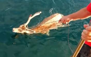 Ψαράς εντόπισε ελάφι να κολυμπά στα νερά του Ευβοϊκού Κόλπου