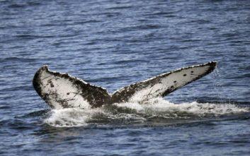 Σπάνια μπλε φάλαινα βρέθηκε νεκρή στις ακτές της Ιαπωνίας