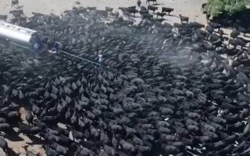 Διψασμένες αγελάδες περικυκλώνουν βυτίο νερού