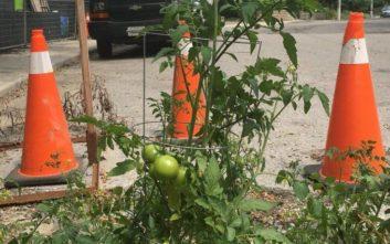 Η τρύπα στο δρόμο έγινε κήπος με ντοματιές