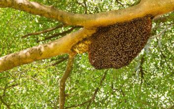 Έκοβε το γκαζόν και δέχθηκε επίθεση από 600 αφρικανικές μέλισσες