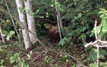 Ένα θαλάσσιο λιοντάρι περιπλανιέται σε δάσος στην Αλάσκα