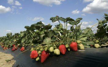 Σουπερμάρκετ στην Αυστραλία αποσύρουν τις βελόνες μετά τον σάλο με τις φράουλες