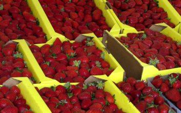 Τιμωρία 15 ετών στους ενόχους για τις βελόνες στις φράουλες στην Αυστραλία