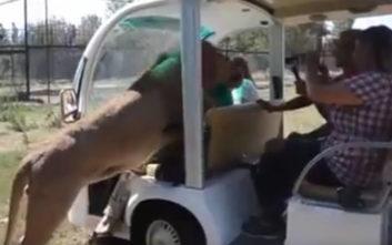 Λιοντάρι εισέβαλε σε όχημα