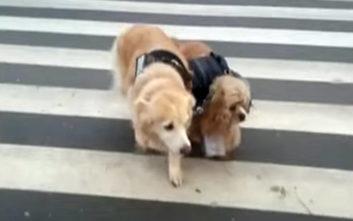 Τυφλός σκύλος έχει τον δικό του… σκύλο οδηγό