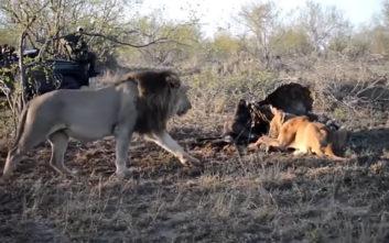 Η επίθεση λιονταριών σε λέαινα για να της κλέψουν το φαΐ