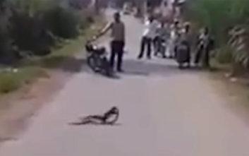 Μαγκούστα εναντίον κόμπρας σε μια μάχη μέχρις εσχάτων