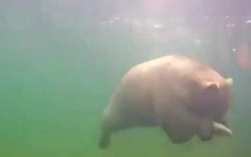 Η βουτιά μιας αρκούδας σε ποταμό για να πιάσει έναν σολομό