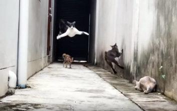 Γάτα ξεφεύγει από τους αιλουροειδείς διώκτες της με… παρκούρ