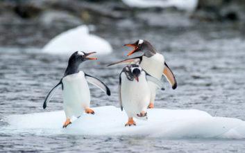 Οι επιστήμονες προειδοποιούν: Δραματική η μείωση των πιγκουίνων «Πυγοσκελίς» της Ανταρκτικής
