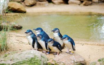 Μυστήριο με 60 νεκρούς πιγκουίνους στην Αυστραλία