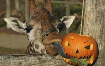 Halloween για... μαϊμούδες και καμηλοπαρδάλεις στο Ζωολογικό Κήπο του Λονδίνου