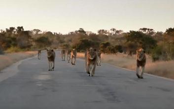 Τουρίστας έπεσε πάνω σε… αγέλη λιονταριών
