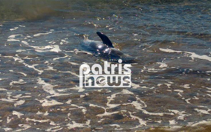 Κινητοποίηση για τη σωτηρία δελφινιού που βγήκε στα ρηχά στην Ηλεία