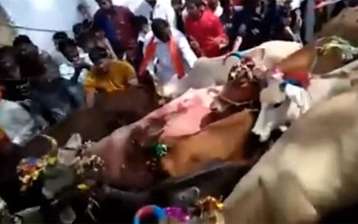 Ποδοπατήθηκαν από αγελάδες για… καλή τύχη