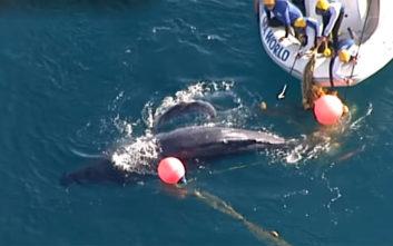 Μωρό φάλαινα είχε παγιδευθεί σε δίχτυ προστασίας από καρχαρίες
