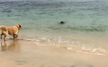 Σκύλος πιάνει φιλίες με φώκια, παίζουν κρυφτοκυνηγητό στα ρηχά