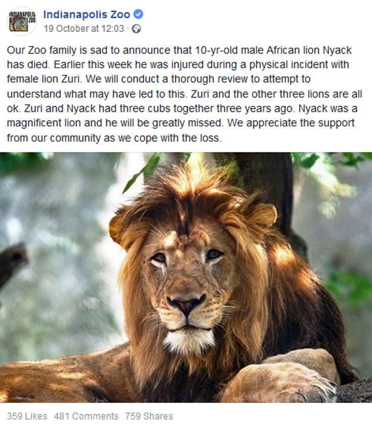 Λέαινα έπνιξε με τα σαγόνια της το λιοντάρι – πατέρα των μικρών της