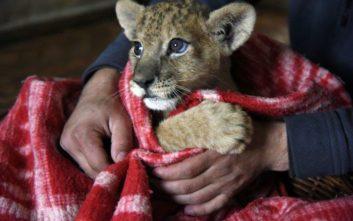 Λιονταράκι βρέθηκε σε διαμέρισμα στο Παρίσι