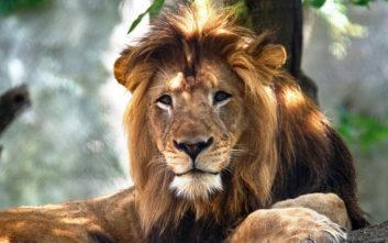 Λέαινα έπνιξε με τα σαγόνια της το λιοντάρι - πατέρα των μικρών της