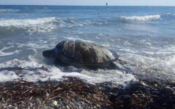 Διασώθηκε η Μαρία, μία πράσινη χελώνα στην Κύπρο