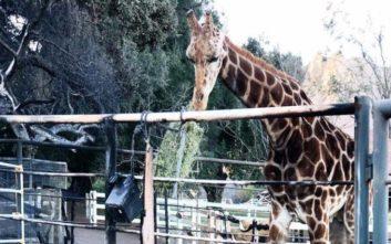 Ο Στάνλεϊ η καμηλοπάρδαλη κι άλλα εξωτικά ζώα επέζησαν της πύρινης λαίλαπας στο Μαλιμπού