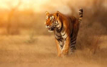 Τίγρης στις ΗΠΑ βρέθηκε θετική στον κορονοϊό