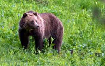 Έγκυος αρκούδα βρέθηκε ακρωτηριασμένη και αποκεφαλισμένη