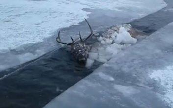Κυνηγοί σώζουν ελάφι από παγωμένο ποτάμι