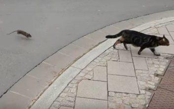 Γάτα το έπαιξε νταής σε αρουραίο και το μετάνιωσε