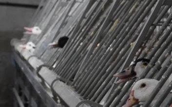 Το βίντεο που αποκαλύπτει όσα γίνονται μέσα σε ένα εκτροφείο φουά γκρα