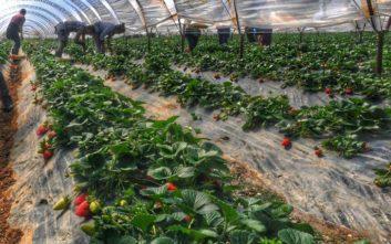 Μειώθηκε κι άλλο η ποινή για τις ματωμένες φράουλες στη Μανωλάδα