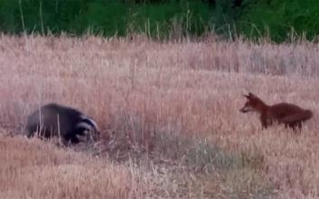 Αλεπού και ασβός παίζουν ξένοιαστα σαν να είναι οι καλύτεροι φίλοι