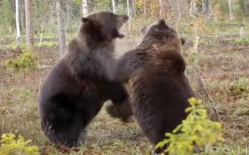 Δυο καφέ αρκούδες σε μετωπική σύγκρουση…