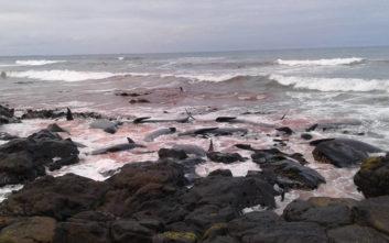 Ακόμα πενήντα μαυροδέλφινα βρέθηκαν νεκρά σε παραλία της Νέας Ζηλανδίας