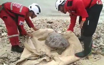 Δεκάδες θαλάσσιες χελώνες ξεβράστηκαν στη στεριά μετά από το φονικό τσουνάμι