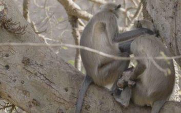 Η σπαρακτική στιγμή με μαμά πίθηκο να κρατά το νεκρό μωρό της σφιχτά στην αγκαλιά