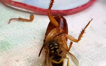 Λυσσαλέα μάχη σφήκας με κατσαρίδα πάνω σε… τραπέζι κουζίνας