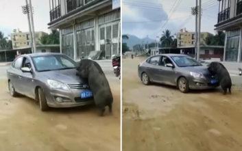 Δείτε ένα αγριογούρουνο να προσπαθεί να ζευγαρώσει με ένα… αυτοκίνητο