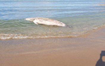 Φώκια σε αποσύνθεση σε παραλία των Χανίων