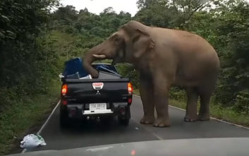 Μπλόκο έστησε ο ελέφαντας στα αυτοκίνητα αναζητώντας φαγητό